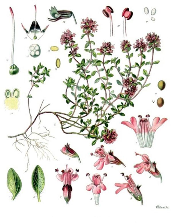 Thymus_serpyllum_-_Köhler–s_Medizinal-Pflanzen-138.jpg