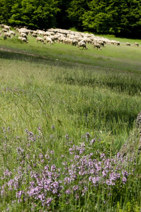 kaukkfűés bárányok.jpg